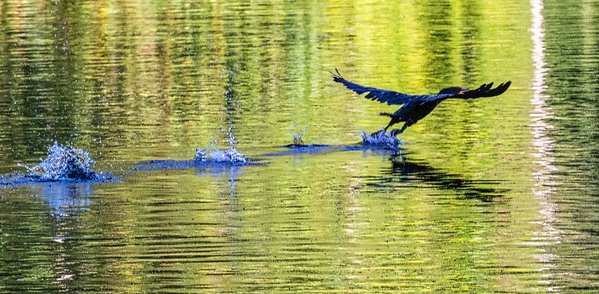 Double Crested Cormorant taking off thumbnail