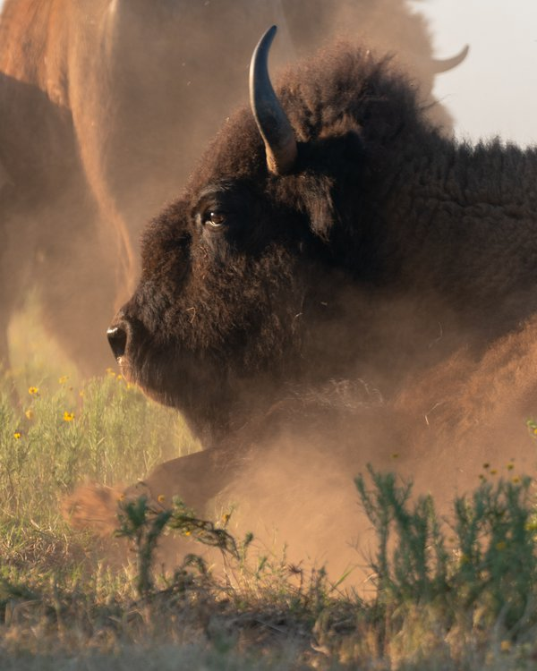 Buffalo rolling in the dust  thumbnail