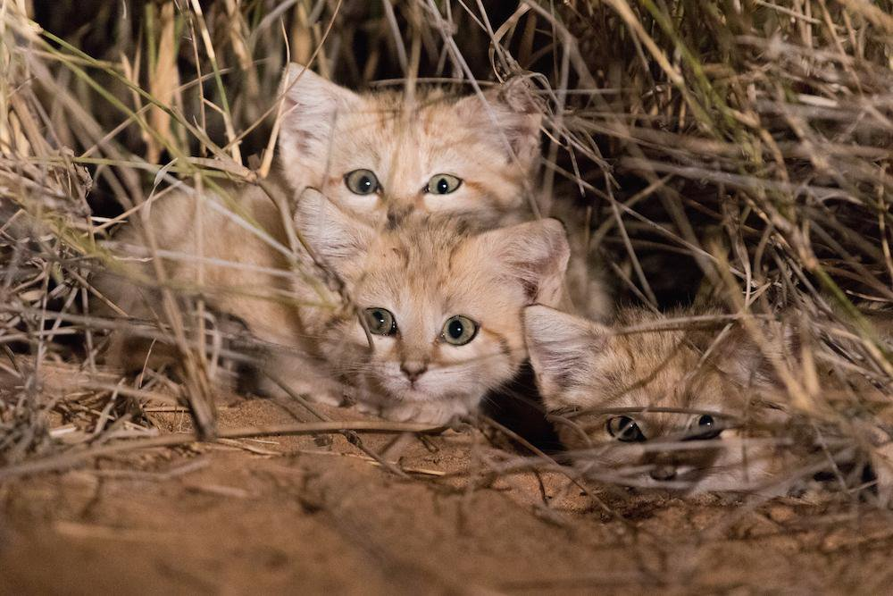 Watch First Video of Sand Cat Kittens Romping in the Wild
