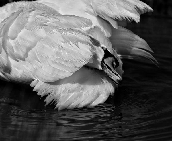I took this photo of this beautiful swan while fishing at lake Nasworthy in San Angelo Texas thumbnail