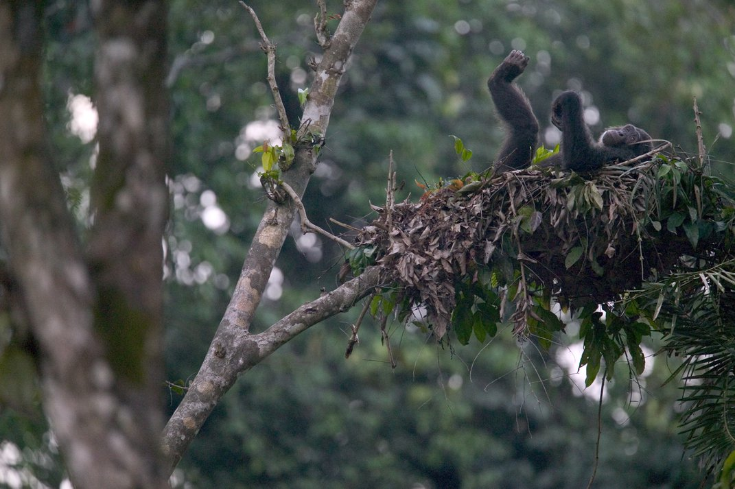 A chimp hanging out in his nest. Photo: Cyril Ruoso/ JH Editorial/Minden Pictures/Corbis