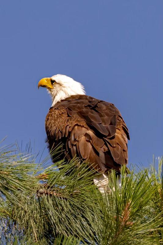 Bold Bald Eagle Feather thumbnail