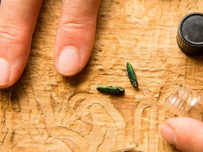 The emerald ash borer first appeared in Michigan in 2002.