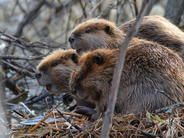 Beaver Gathering thumbnail