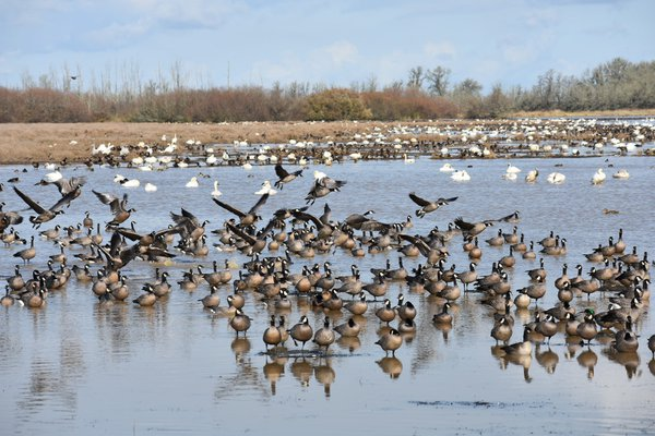 Early arrivals in the Pacific  Northwest waterfowl migration thumbnail