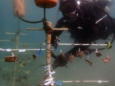 Smithsonian Conservation Biology Institute scientist Mike Henley dives at a coral nursery where brown rice coral and blue rice coral grow.