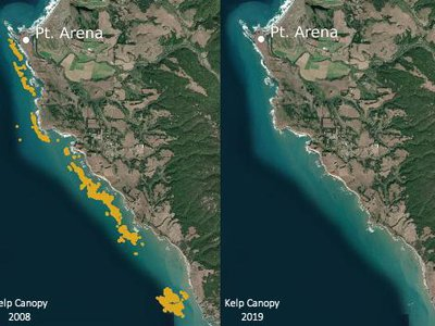 Satellite images comparing bull kelp canopy cover (gold shading) 2008 and 2019 off the coast of Mendocino and Sonoma Counties in Northern California.