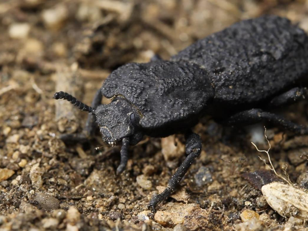 A close-up image of the diabolical ironclad beetle on dirt