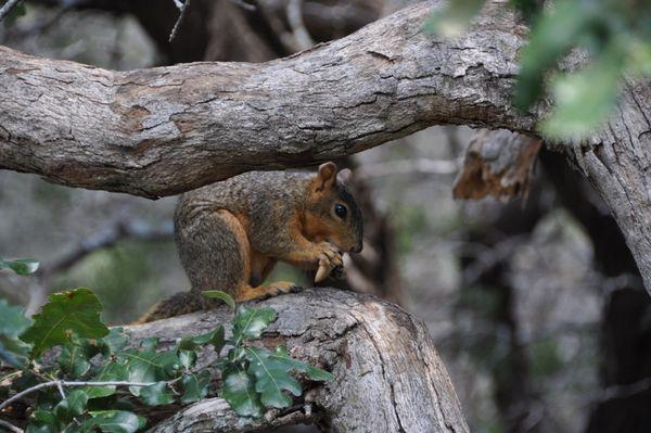 Squirrel Eating thumbnail