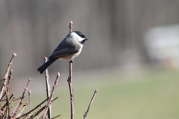 Black-Chickadee resting in the late-winter sun. thumbnail