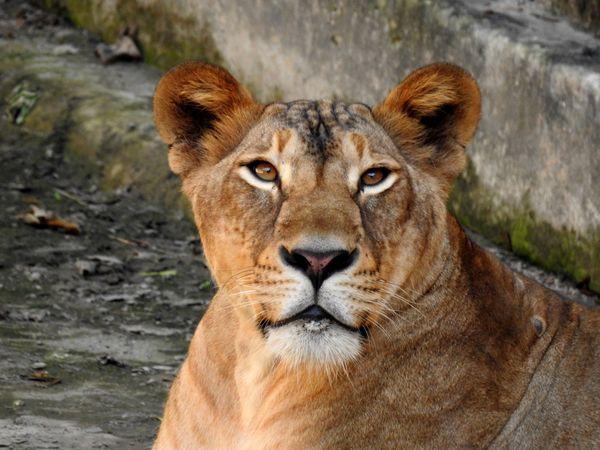 Royal gaze-Lioness thumbnail