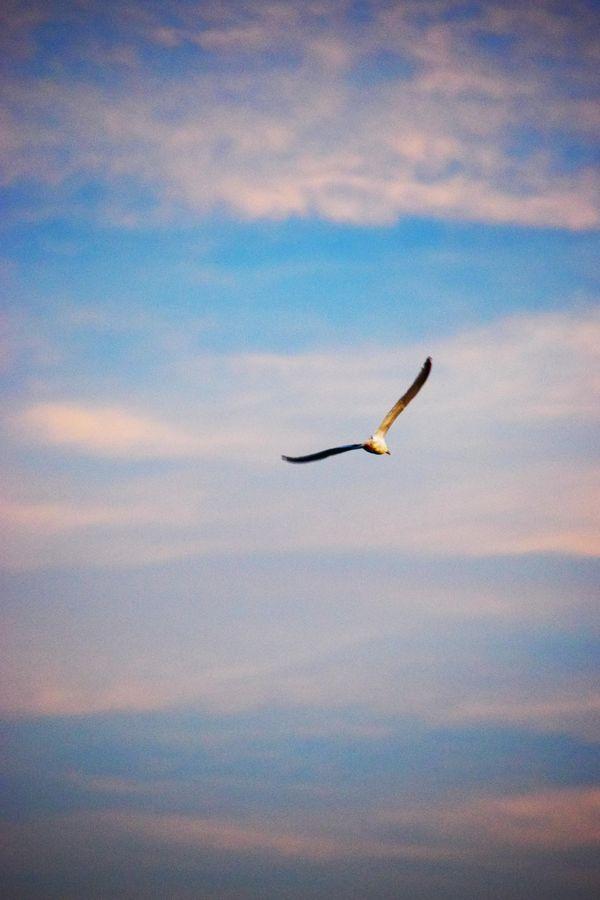 Seagull At Sunrise thumbnail