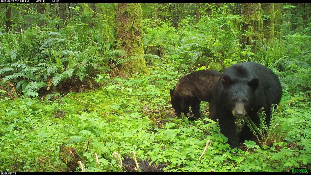 A camera trap photo of two black bears in a lush forest