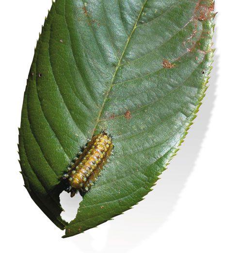Parachuting Caterpillars