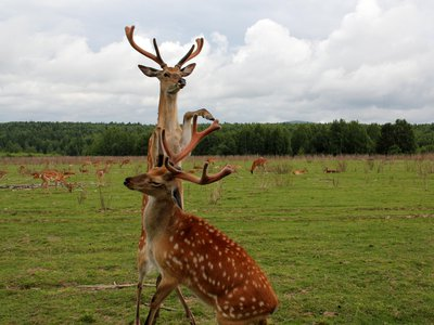 Male deer grow these impressive face ornaments every year, in a cycle of life, death and itchiness.