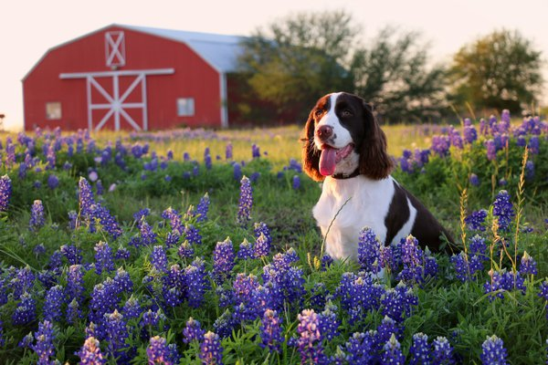 Texas bluebonnets with barn and dog in the springtime. thumbnail
