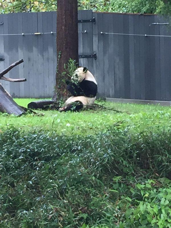 Giant panda at the National zoo thumbnail