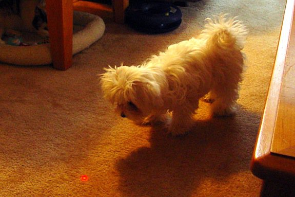 This dog loves the laser beam, but it might wind up making him crazy.