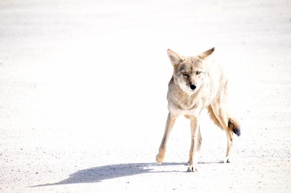 Coyote thumbnail