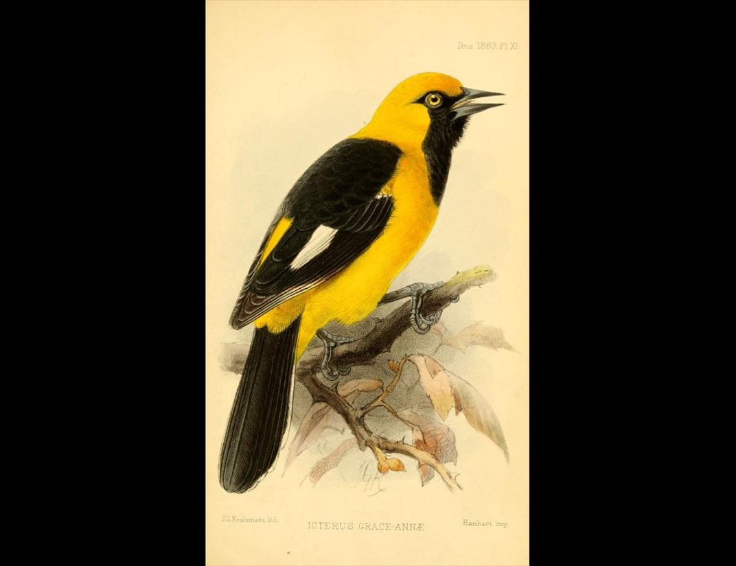 Color illustration of White-edged oriole, bird with yellow body and black and white tail and markings.