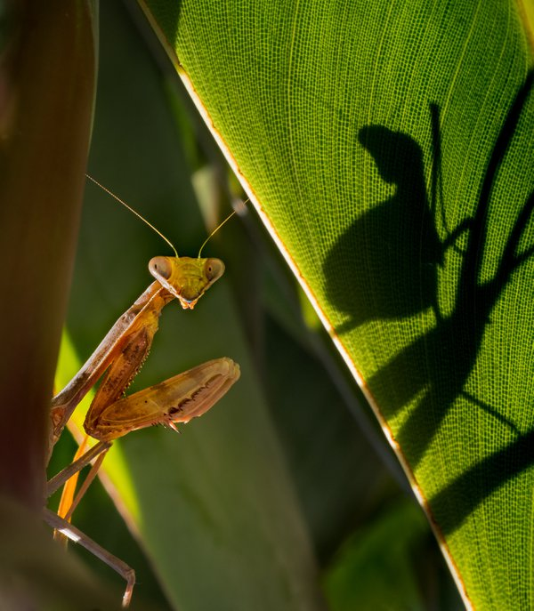 I was on a backyard safari looking for hummingbirds who love to feed on the Birds of Paradise on my south-facing garden when I saw this praying mantis on a Bird of Paradise bush nearby.