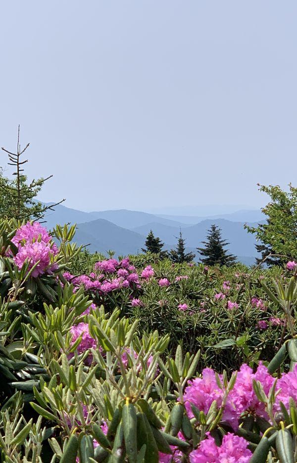 Roan Mountain Rhododendron thumbnail