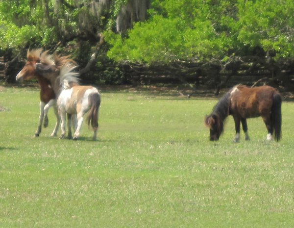 Miniature horses clashing at Magnolia Plantation in Charleston, South Carolina. thumbnail