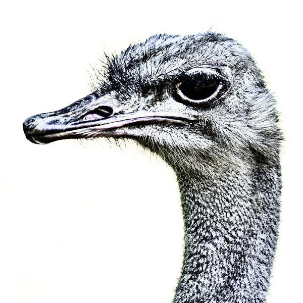 Ostrich Profile thumbnail