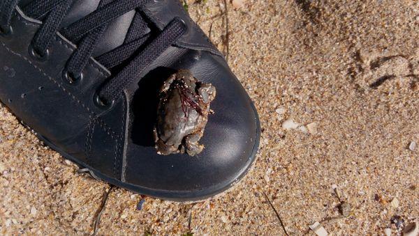 Sea crab getting warmer on my shoe in Odessa, Ukraine thumbnail