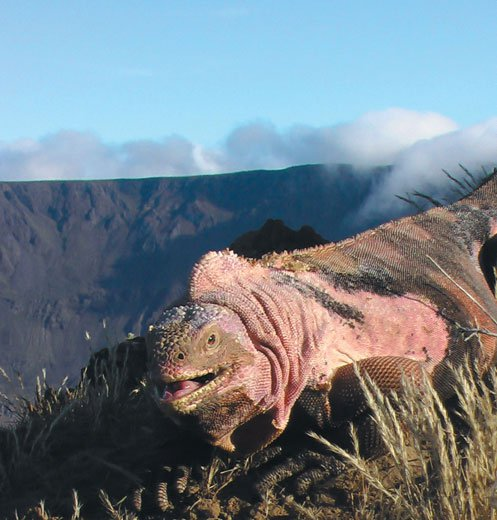 Pink lizard from the Galapagos Islands