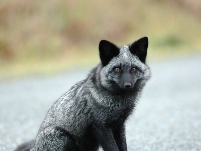 Many friendly foxes carried a version of a gene that differed from their feral counterparts.