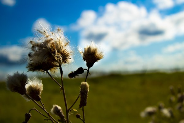 Prairie Fluff thumbnail