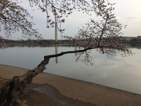 Cherry blossom with the Washington Monument in the background.   thumbnail