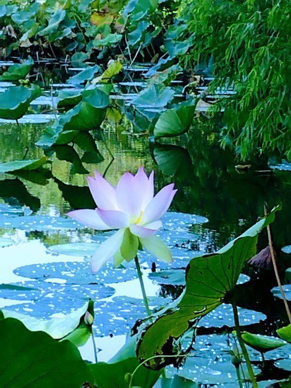 The Lotus Flower thumbnail