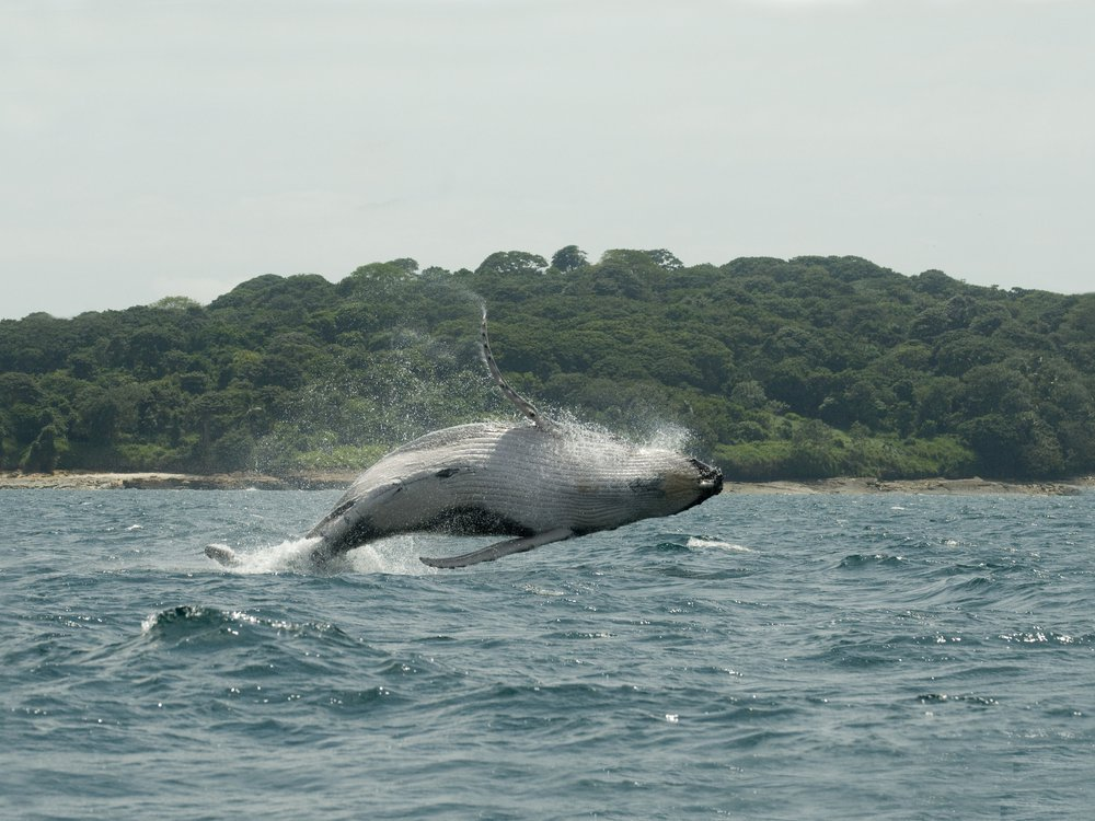 Humpback Whale Leaps from Water, Panama