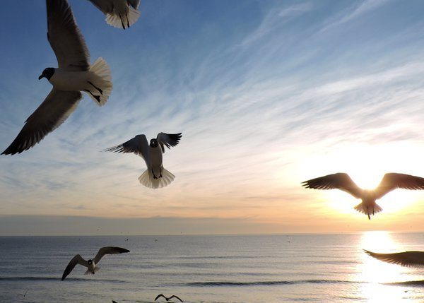 Seagulls, the ocean and the sunrise, Nags Head NC thumbnail