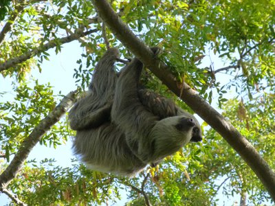 Two-toed sloths (Choloepus hoffmanni) live in the canopy layer of the Panamanian rainforest. Find out why in a family program streaming July 17. (Smithsonian Tropical Research Institute, Punta Culebra Nature Center)