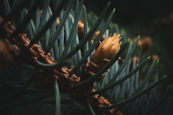 Through the Pine thumbnail