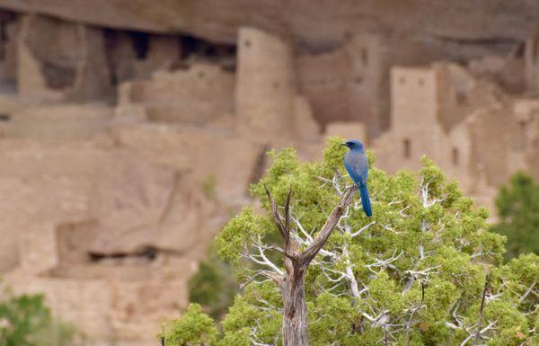 Pinyon Jay at Cliff Palace thumbnail