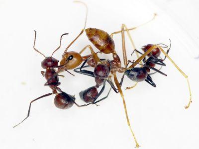 Weaver ants demonstrating exploding behavior in experimental setting