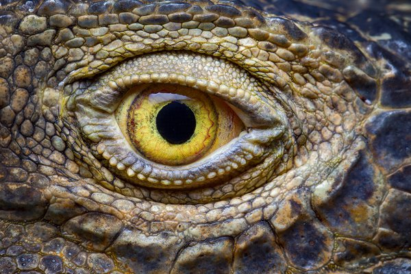 Iguana Eye Closeup thumbnail