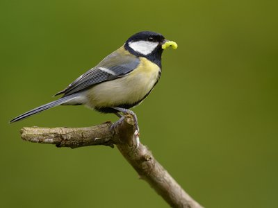 Little does it know, but getting eaten by a great tit is the least of this grub's worries.
