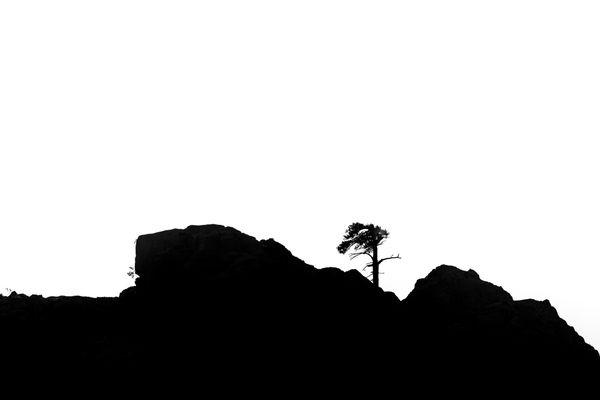 Mountain pine thumbnail