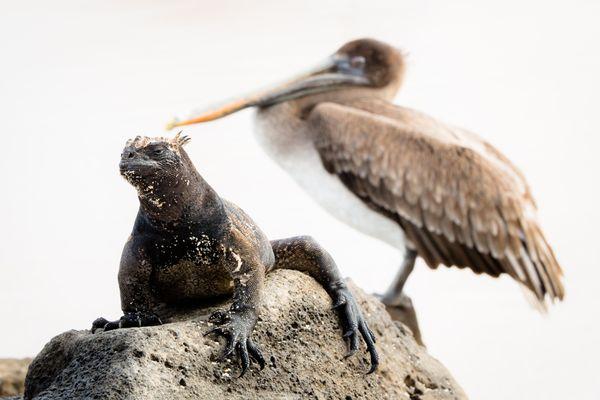 Marina iguana and pelican thumbnail