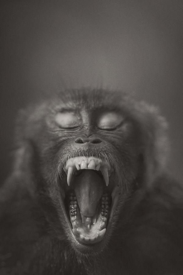 Yawning Macaque thumbnail