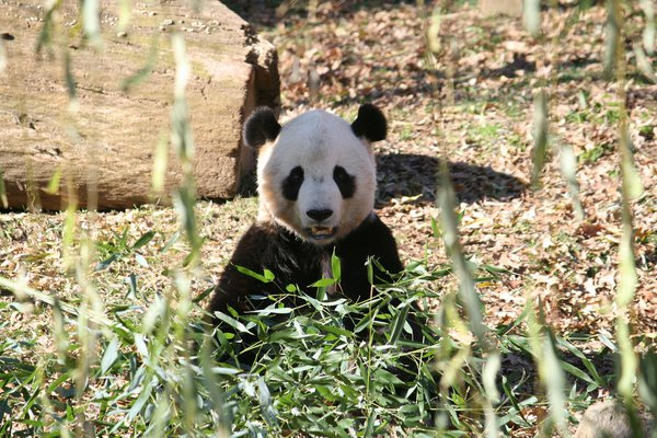 Tai Shan enjoying a meal of bamboo thumbnail