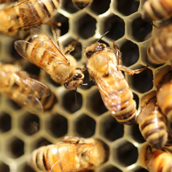Honey Bee Colony thumbnail