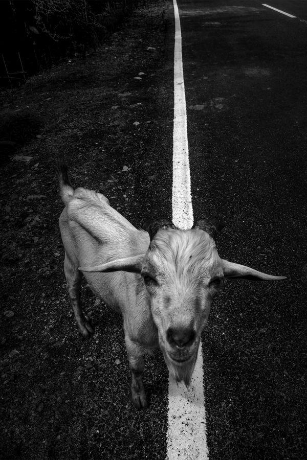 Street Goat thumbnail
