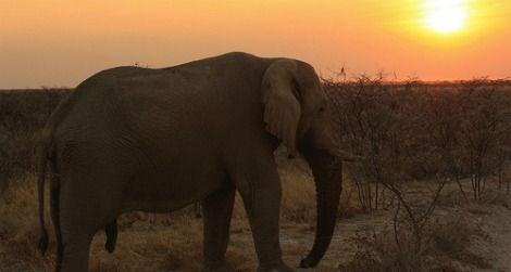 A male elephant at Etosha National Park in Namibia