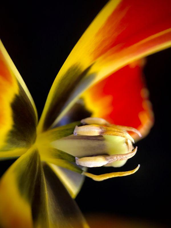 Tulip Close Up thumbnail